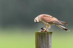 Common Kestrel with prey (skees499 ) Tags: holland birds nikon ngc natuur alblasserwaard kestrel birdofprey d500 torenvalk keesmolenaar nikonflickrtrophy