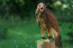 Bussard (matthias.foto) Tags: natur nature tier animal sony alpha 6000 a6000 fe702004 wild wildlife zoo germany deutschland 2015 color portait outdoor ilce mirrorless cute sweet ss schn beauty beautiful light bokeh animals photo photography photos europe trip art park vogel bird greifvogel bussard buzzard green grn
