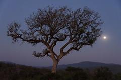 HluhluweImfolozi Park, South Africa - Moonlight (GlobeTrotter 2000) Tags: africa game hlu hluhluwe imfolozi park reserve south tree baoba moon moonlight night southafrica twilight
