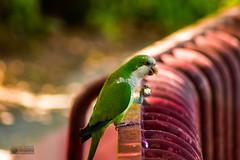 La merienda (marcus turkill) Tags: fauna birds aves cotorra nikon nikond3300 naturaleza nature summer verano
