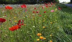 Roadside flowers (Heathermary44) Tags: outdoor wildflowers poppies californianpoppies cornflowers daisies corn roadside nature summer denmark meadow