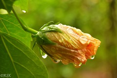 Dipped in raindrops (RSK.2016) Tags: travel flowers orange india flower color green nature water colors beautiful rain wonderful dewdrops droplets colorful dof outdoor places depthoffield hibiscus dew raindrops greenery bud climate naturephotography flowerbud greenleafs