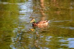 DSC_0022 (rachelle571) Tags: lake water reflections dam ducks ducklings mallard holmes