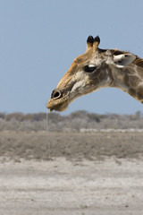 Giraffe messing water (richardkt4545) Tags: wildlife nature bird couple desert desertbird etosha namibia africa afrika animal outdoor feather giraffe elephant sociable weaver hut sunset savannah tin roof thorn acacia nest baby