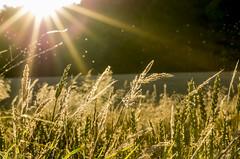 Summer mood in the country side (MGMOLLER) Tags: mgmoller mgmollerdk pentax sunburst sunbeams bugs grass backlight