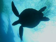 Green Sea Turtle (Chelonia mydas) (NicholasHess) Tags: ocean california blue beach marine sandiego turtle reptile diving freediving seaturtle herp fieldherping herping
