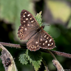 Speckled Wood Butterfly (Eiona R.) Tags: speckledwoodbutterfly parargeaegeria somerset