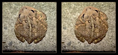 Mr. Grumpy Visits 1 - Crosseye 3D (DarkOnus) Tags: mr grumpy toad pennsylvania buckscounty huawei mate 8 cell phone 3d stereogram stereography stereo darkonus closeup macro hyperstereo hyper extreme ttw fowlers crossview crosseye