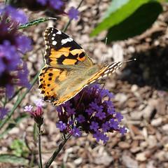 Distelfalter (ustrassmann) Tags: falter distelfalter schmetterling garten butterfly