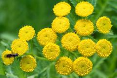 Tansy (Mark at Magdalen) Tags: flower roughgrassland plants norfolk habitat places kingslynnandwestnorfolkdis england unitedkingdom kingslynnandwestnorfolkdistrict gb tanacetumvulgare tansy