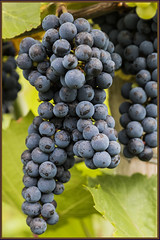 Grapes (NetAgra) Tags: grapes winegrapes crop wine beverage food vine border wisconsin madison variety fruit