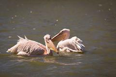 Pelicanes (Cloudtail the Snow Leopard) Tags: pelikan zoo karlsruhe tier animal vogel bird water swim wasservogel pelicane pelecanidae pelecanus