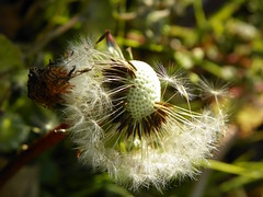 3-7-15 666 (LeeLee's pictures) Tags: 3715 citypark neworleans louisiana plants flowers woods trails nature naturetrial animals trees dandelions yellow flower wildflower weeds makeawish white flyaway
