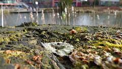 Am Ufer (rgruen) Tags: tree river lumix ufer fluss baum bielefeld ostwestfalen stamm morsch sennestadt