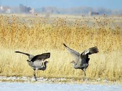 Invitation to the Dance (Patricia Henschen) Tags: snow bird birds sanluisvalley sandhillcranes montevistanationalwildliferefuge montevistacolorado