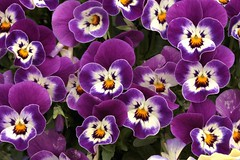 crazy faces... (hennessy.barb) Tags: flowers spring colorful purple blossoms pansy blooms pansies
