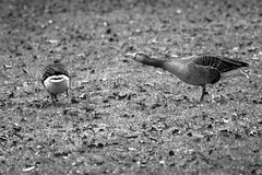 ænder-1 (Frank Schmidt) Tags: bird animals out photography photo outdoor picture fulge eos7d