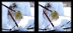 Winter Hanging On 6 - Cross-eye 3D (DarkOnus) Tags: winter snow macro ice closeup stereogram crosseye weed pennsylvania snowy scenic stereo hanging icy stereography buckscounty crossview ttw