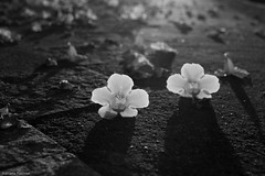 af1503_6343 (Adriana Fchter) Tags: flowers autumn bw flores macro love nature amor natureza flor chao outono calada lilas estacao tumbergia adrianafchter