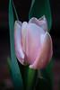 Tulipan (mangeles pm) Tags: flores tulipan bulbos