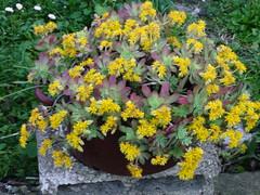 Sedum compressum DSC00206 (amalia_mar) Tags: pachyfyta λουλουδι κιτρινο γλαστρα παχυφυτο πρασινο κηποσ ελλαδα flowers garden greece yellow sonyhdrtg3e sedumcompressum 7dwf