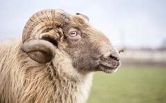 Henk The Heath Sheep Ram (Bas Bloemsaat) Tags: wool sheep ram drentheheathsheep