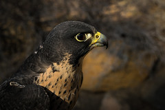 Focused (Jon David Nelson) Tags: ecology birds animals eyes biology falcons raptors birdsofprey hawking falconry falcoperegrinus falcoperegrinuspealei