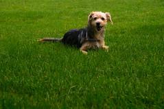 Happiness is the short green grass (luk92m) Tags: dog grass brasil happy day sony dia lucas grama sp cachorro f3 feliz paulo so motta nex