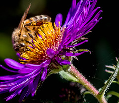 """Gathering nectar before winter • <a style=""""font-size:0.8em;"""" href=""""http://www.flickr.com/photos/7605906@N04/16799635131/"""" target=""""_blank"""">View on Flickr</a>"""