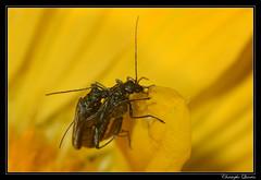 Oedemera nobilis mating (cquintin) Tags: arthropoda coleoptera nobilis oedemera côtedor oedemeridae