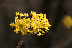 Kornelkirsche (gripspix (OFF)) Tags: bloom blte hartriegel kornelkirsche europeancornel amongthegarbageandtheflowers 20150324 corunusmas