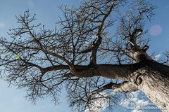 Baobab Tree At The Botswana Border