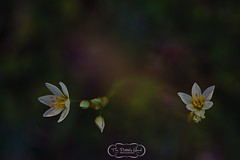 Tiny White Flower Duo (The Potter's Hand Photo) Tags: blue white flower green floral yellow star evening stem weed nikon louisiana purple blossom bokeh small fineart magenta tiny bloom bud goldenhour creamy fineartphotography miniscule nikon105f28 creamybokeh nikon105macro fineartphotographer nikond700 nikon105micro louisianaphotographer