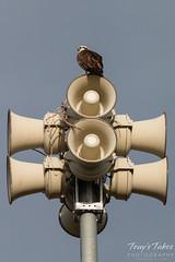 Osprey on an unusual perch