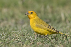 Saffron Finch (Eric SF) Tags: bird hawaii oahu finch bestpractices saffronfinch kapolei koolinagolfcourse