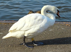 What big feet you've got (jdathebowler Thanks for 4.5 Million + views.) Tags: nature swan waterbird muteswan cygnusolor fantasticnature thebeautyofnature amazingnatureworld whatbigfeetyouvegot