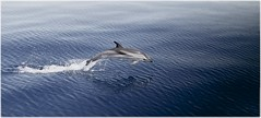 Jump ! (Axel :)() Tags: animals jump dolphin opensea overtheexcellence