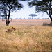 Lioness Hunting Pumbaa