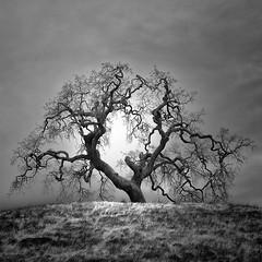 Oak (nlwirth) Tags: california light tree ir oak infrared blah yup blahblah blahblahblah infraredconvertedcamera nlwirth infrareddy