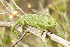 IMG_8740 (Sula Riedlinger) Tags: portugal nature reptile wildlife algarve chameleon riaformosa chamaeleochamaeleon portugalnature mediterraneanchameleon commonchameleon portugalwildlife