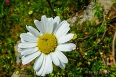 Flor primaveral. (Airbeluga) Tags: espaa naturaleza flores cerca cantabria puenteviesgo cotero
