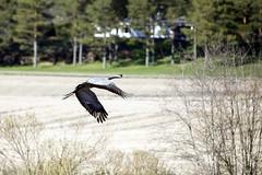 Degerby, Inkoo, May 1st 2016 (Sampsa Kettunen) Tags: bird field canon crane lintu pelto inkoo ingå kurki degerby canoneos6d canonkevät canonkuvaa