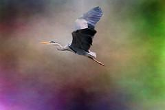 UpII (Ans van de Sluis) Tags: bird heron nature spring bokeh surreal hortus bokehlicious ansvandesluis
