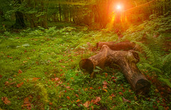 500px Photo ID: 137836531 (andrejsmaculskis) Tags: park wood autumn light orange sun sunlight mist man tree green nature colors leaves fog forest woodland season landscapes natural vibrant space foliage made driftwood rays lush sunbeam scenics