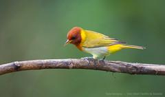 Dourado-1605-2640C (Almir Cndido de Almeida) Tags: bird dourado sp ave cerrado ferrugem passaro passer saira