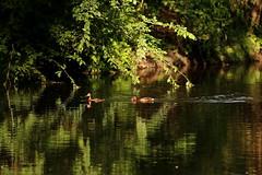Quietly... (carlo612001) Tags: duck anatra moretta aythyanyroca parcodelticino anatidi tabaccata morettatabaccata