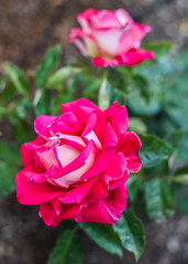the ones that reach the sun (pbo31) Tags: california red 2 two flower color macro green nature rose yard garden season spring flora nikon earth grow may bloom eastbay livermore pleasanton alamedacounty blooming 2016 boury pbo31 d810