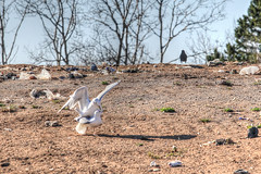 Down & Dirty (Cindy's Here) Tags: seagulls ontario canada canon voyeur discarded raven thedump sunnah downdirty 52in2016challenge