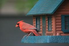Male Cardinal on Bird Feeder (hbickel) Tags: red male bird canon cardinal pad birdfeeder photoaday malecardinal canont6i
