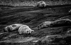 Seals near Elgol, Scotland (paevalill) Tags: uk animals scotland pregnant seal seals elgol